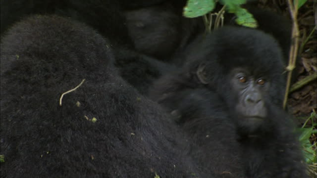 baby mountain gorilla pampered by its mother - putsa sig bildbanksvideor och videomaterial från bakom kulisserna