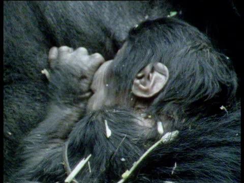 vídeos de stock, filmes e b-roll de baby mountain gorilla sucking thumb asleep in adult's arms - parte do corpo animal