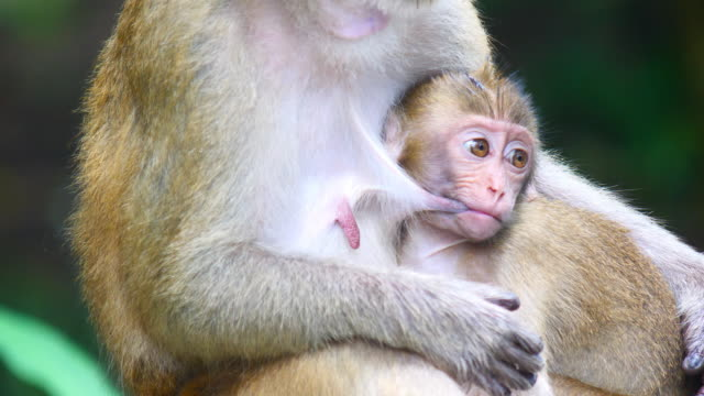 baby of macaque monkey drinking milk from breast in  mother arms - animal head stock videos & royalty-free footage