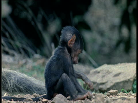 Baby Olive Baboon plays with twig and looks around
