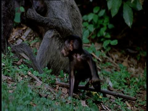 vídeos y material grabado en eventos de stock de baby olive baboon plays with twig - parque nacional de gombe stream