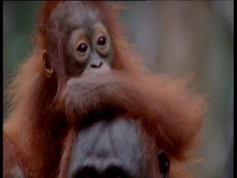 Baby Orang utan sitting on adult's head, Camp Leaky, Borneo