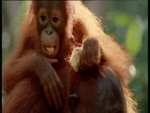 Baby Orangutan climbs down off of adult's head, Camp Leakey, Borneo