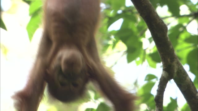 a baby orangutan hangs from a branch in borneo, malaysia. - island of borneo stock videos and b-roll footage