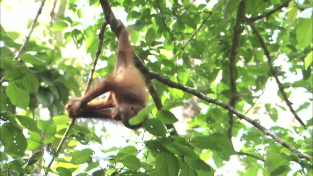 A baby orangutan hangs from a branch in Borneo, Malaysia.