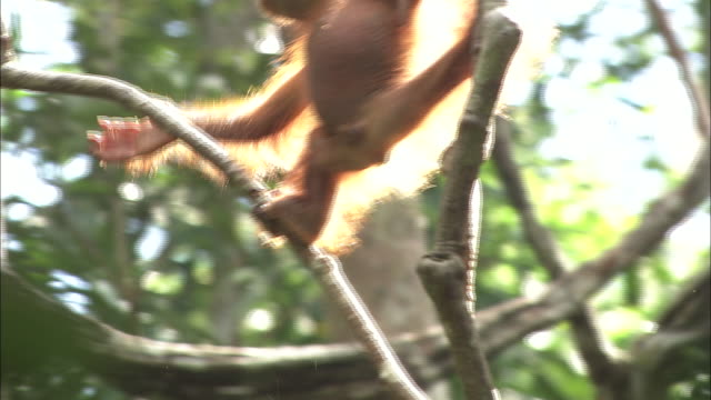 A baby orangutan plays and moves the vine of a tree in Borneo, Malaysia.