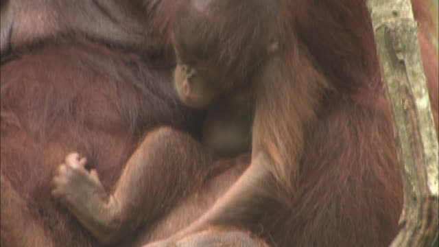 a baby orangutan sits in its parent's lap in a tree in borneo, malaysia. - resting stock videos & royalty-free footage