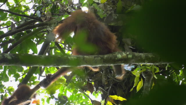 baby orangutan throwing a tantrum and mother orangutan pulling the baby on a tree in gunung leuser national park in indonesia - creazione animale video stock e b–roll