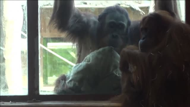 baby orangutan whose gender is still unknown was born at the amneville zoo in paris to parents ludi and putri two members of one of the most... - unknown gender stock videos & royalty-free footage