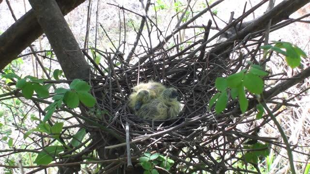 baby oriental turtle dove on nest - 生い茂る点の映像素材/bロール