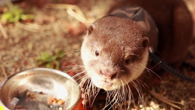 ペットのためのベビーカワウソは食べ物を食べる - カワウソ点の映像素材/bロール