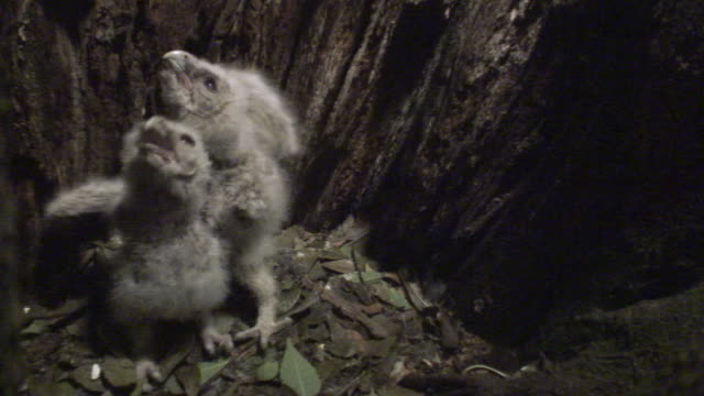 baby owls in the nest - bird's nest stock videos and b-roll footage