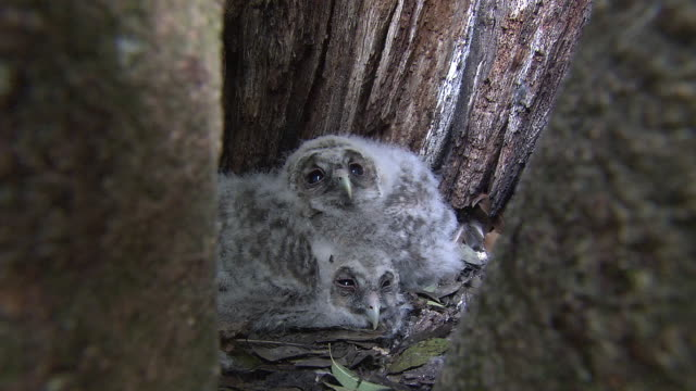 Baby Owls In The Nest