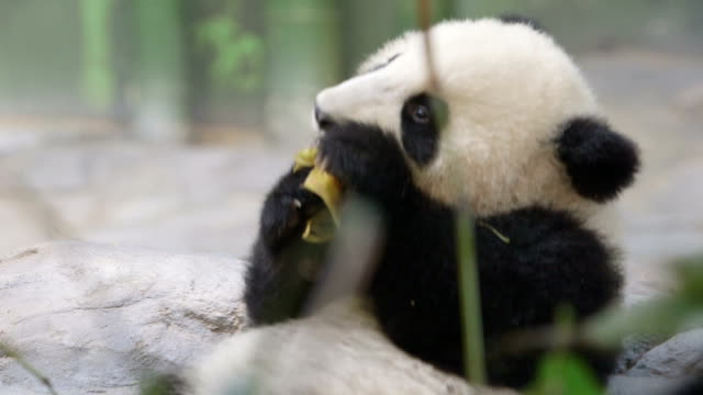 baby panda - young animal stock videos & royalty-free footage