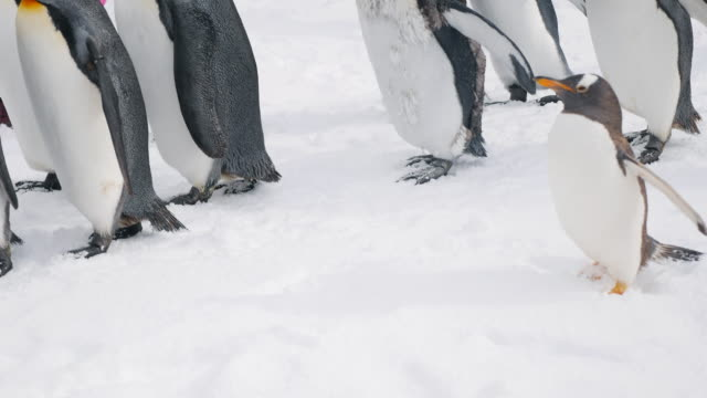 baby penguin and family - penguin stock videos & royalty-free footage
