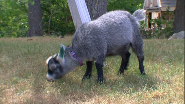 a baby pet pygmy goat nibbles on pine needles. - goat stock videos & royalty-free footage