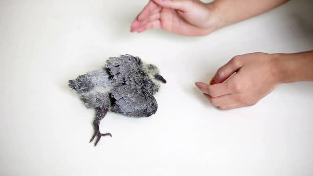 baby pigeon try to flying - cute stock videos & royalty-free footage