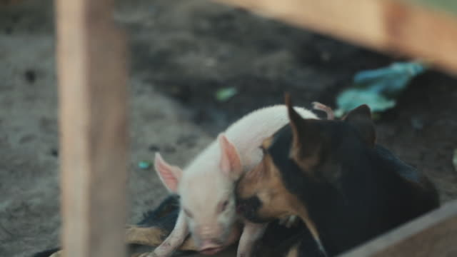 Baby Piglet Cuddling With Dog