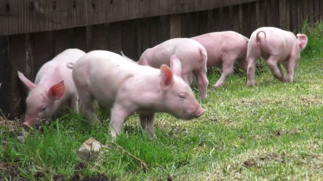 Baby Pigs, Piglets, Hogs, Farm Animals