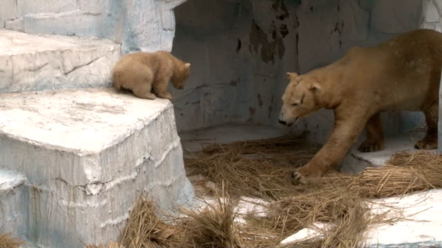 A baby polar bear is healthily growing at an Osaka zoo She was born in November last year at Tennoji Zoo in central Osaka from a Russianborn father...