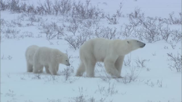 a baby polar bear walking along its mother polar bear on the snowfield in the arctic - frozen stock videos & royalty-free footage