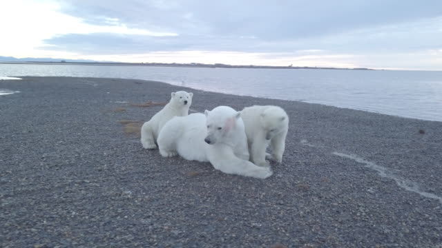 baby polar bears sitting close to mother bear - small group of animals stock videos & royalty-free footage