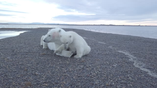 baby polar bears sitting close to mother bear - lying on front stock videos & royalty-free footage