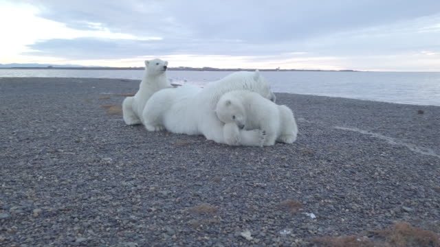 vidéos et rushes de baby polar bears sitting close to mother bear - famille d'animaux