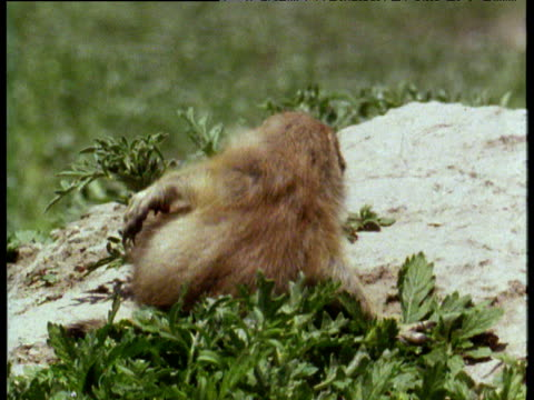 baby prairie dog falls over whilst attempting to preen itself in badlands of south dakota - バッドランズ国立公園点の映像素材/bロール