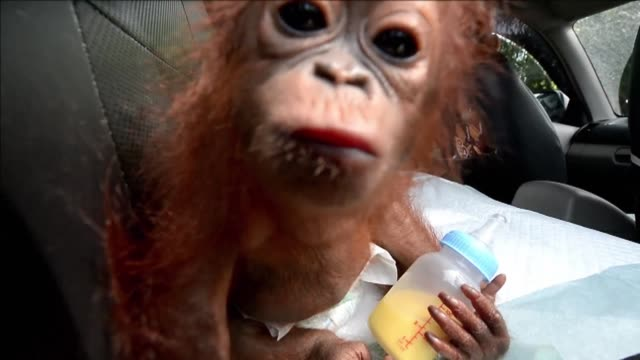 baby primate vena is the latest bornean orangutan to be rescued in indonesia after being kept as a pet - vena stock videos and b-roll footage