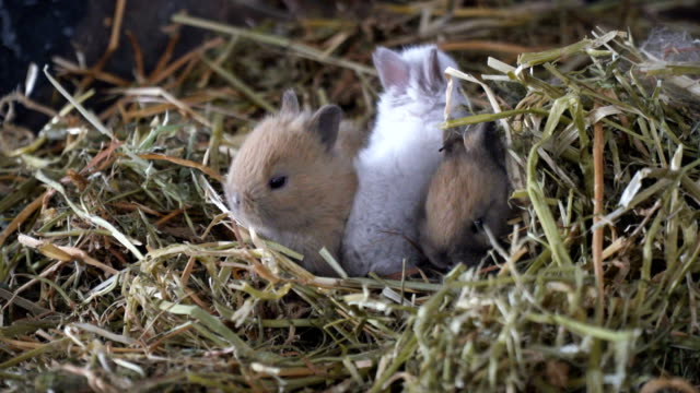 vidéos et rushes de baby rabbits eating and playing in dry grass - lapin
