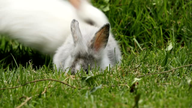 baby rabbits eating and playing - group of animals stock videos & royalty-free footage