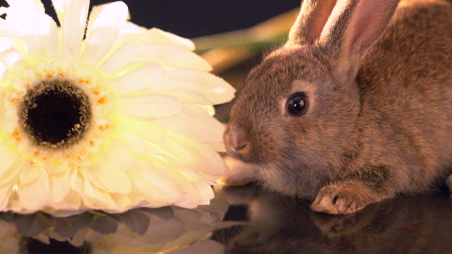 baby rabbits sitting  over black background. - extreme close up stock videos & royalty-free footage