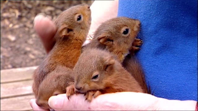 baby red squirrels rescued after being blown from their nest during hurricane katia england northumberland morpeth sanctuary wildlife care centre ext... - raggomitolato video stock e b–roll