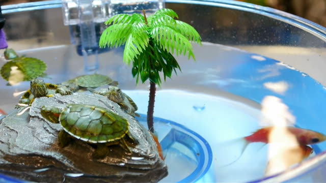 baby red-eared slider turtles. - aquatic organism stock videos & royalty-free footage
