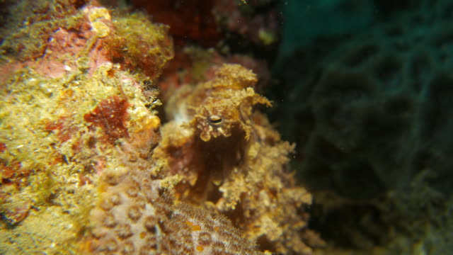 baby reef octopus in the reef - tentacle sucker stock videos & royalty-free footage