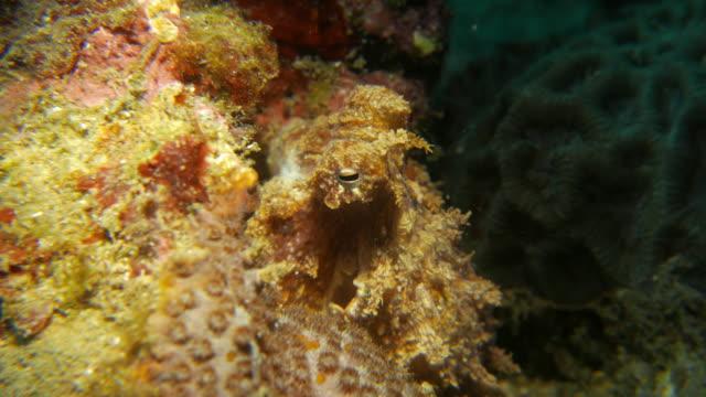 baby reef octopus - tentacle sucker stock videos & royalty-free footage