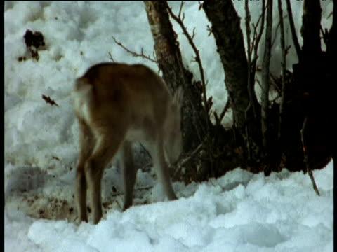 baby reindeer frolics in snow scandinavia - babyhood stock videos & royalty-free footage