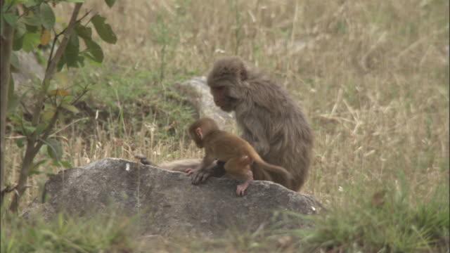 vídeos de stock e filmes b-roll de baby rhesus macaque clambers on rock in field near mother, chopta, india available in hd. - vida de bebé