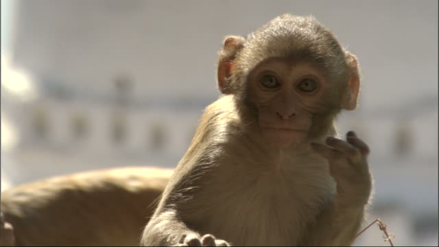Baby Rhesus macaque scratches face then jumps out of shot as another enters, Bateshwar Available in HD.