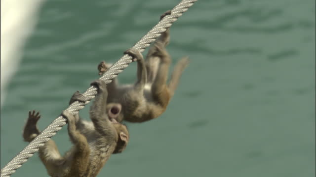 baby rhesus macaques play on bridge cables, rishikesh, india available in hd. - upside down stock videos & royalty-free footage