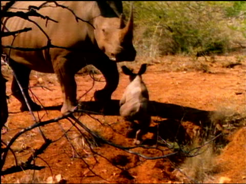 A baby rhinoceros climbs up a dirt embankment as its mother waits.
