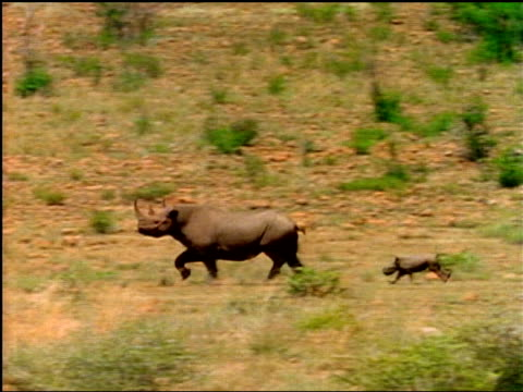 A baby rhinoceros runs after its mother.
