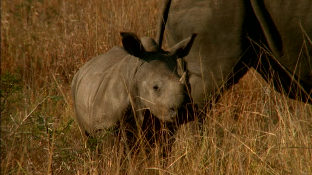 A baby rhinoceros stands on the savanna next to its mother. Available in HD.