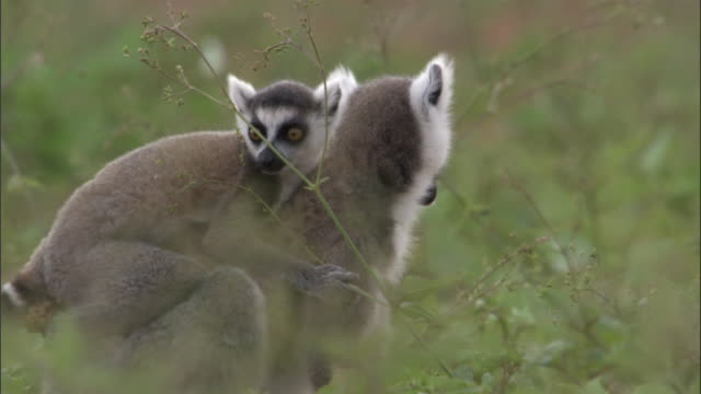 Baby ring tailed lemur (Lemur catta) clings to mother as they feed on ground, Madagascar