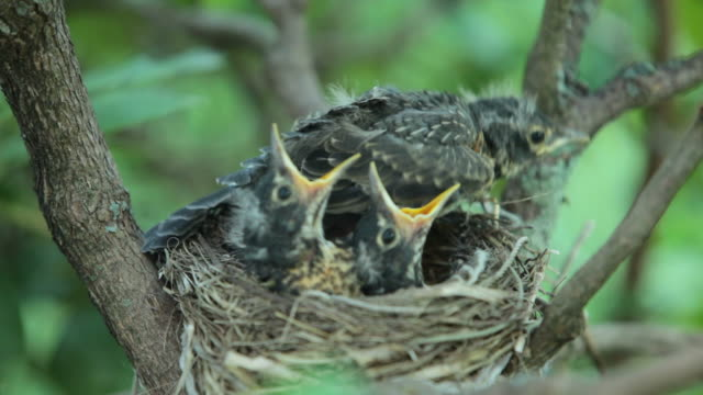baby robins - bird's nest stock videos & royalty-free footage