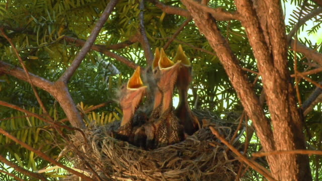 CU Baby robins waiting for mother bird to feed them/ Chelsea, Michigan