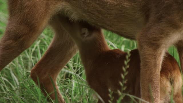 vídeos y material grabado en eventos de stock de baby roe deer suckling on its mother - mamar