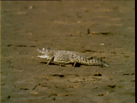 baby saltwater crocodile crawls cautiously over mud flat - mud flat stock videos & royalty-free footage