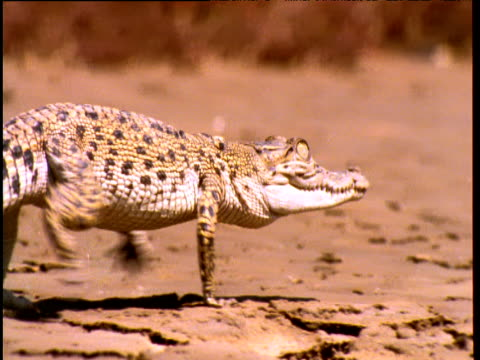 baby saltwater crocodile walks over mud flat - mud flat stock videos & royalty-free footage